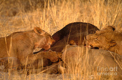 Lions Eating Buffalo Poster by Art Wolfe