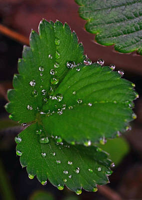 Liquid Pearls On Strawberry Leaves Poster by Lisa Phillips