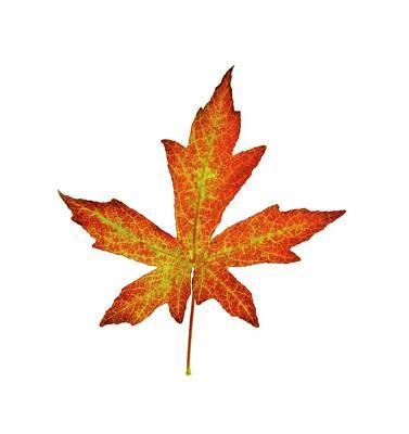 Liquidambar Styraciflua Leaf Poster by Cordelia Molloy