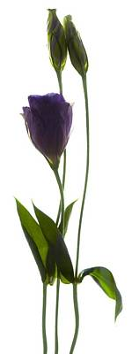 Lisianthus Duo Poster