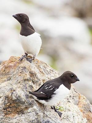 Little Auks Or Dovekie (alle Alle) Poster by Ashley Cooper
