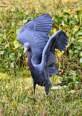 Little Blue Heron Blue Poster by Carol Groenen
