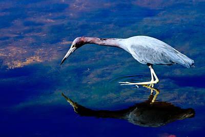 Little Blue Heron Fishing Poster