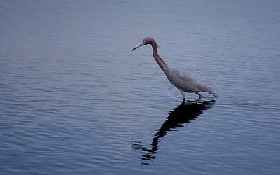 Poster featuring the photograph Little Blue Heron On The Hunt by John M Bailey