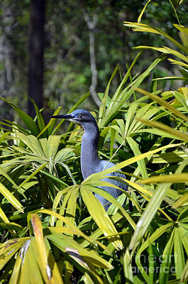 Poster featuring the photograph Little Blue Heron by Robert Meanor