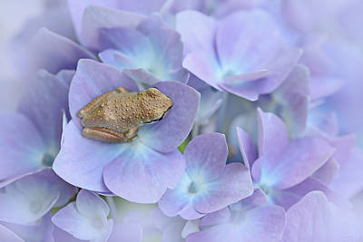 Little Brown Frog On Hydrangea Flower  Poster by Jennie Marie Schell