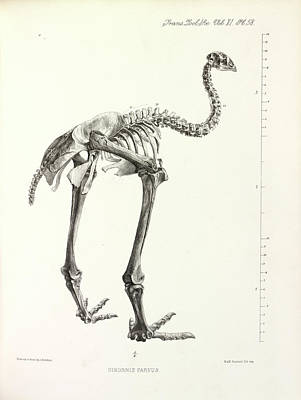 Little Bush Moa Poster by Natural History Museum, London