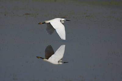 Little Egret In Flight Poster