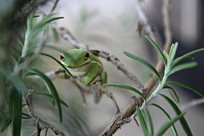 Little Green Frog Poster by Lynn Jordan