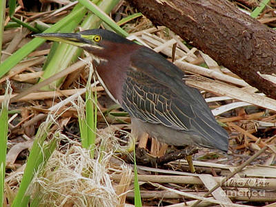 Poster featuring the photograph Little Green Heron by Donna Brown