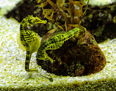 Little Green Seahorses Poster by Linda Phelps