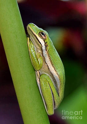 Poster featuring the photograph Little Green Tree Frog by Kathy Baccari