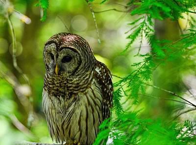 Little Hoot Owl Poster