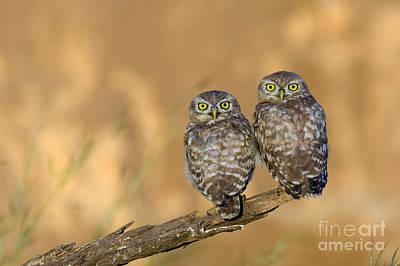 Little Owl Athene Noctua 4 Poster by Eyal Bartov