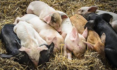 Little Piggies Poster