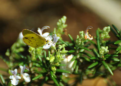 Little Yellow Butterfly On Rosemary Poster