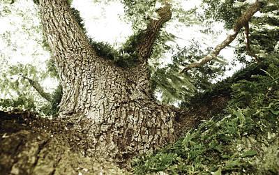 Live Oak Poster