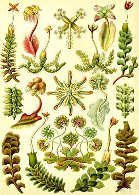 Liverworts Moss Brunnenlebermoos Haeckel Hepaticae Poster