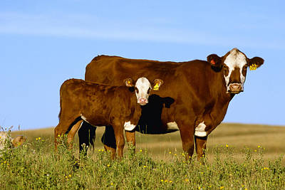 Livestock - Crossbred Cow And Calf Poster