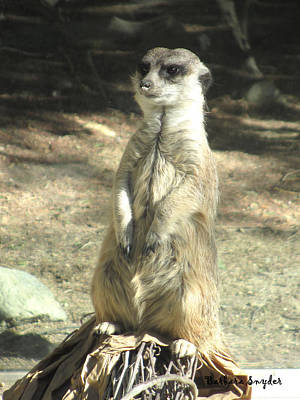Living Desert Meerkat Poster