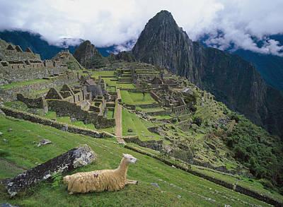 Llama At Machu Picchus Ancient Ruins Poster by Chris Caldicott