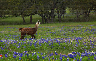 Llama In Bluebonnets Poster by Susan Rovira