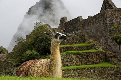 Llama, Machu Picchu, Cusco Region Poster by Douglas Peebles