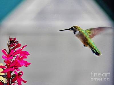 Lobelia And Hummingbird Poster by Judy Via-Wolff