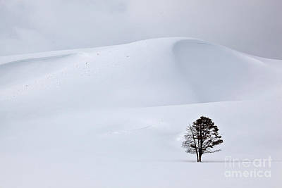 Lodgepole Pine In Snowy Landscape Poster