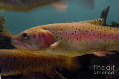 Lohontan Cutthroat Trout Poster by Ron Sanford