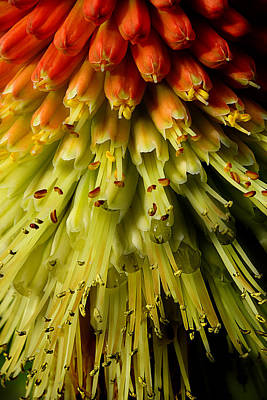 Lola Red Hot Poker Poster by Michael Eingle