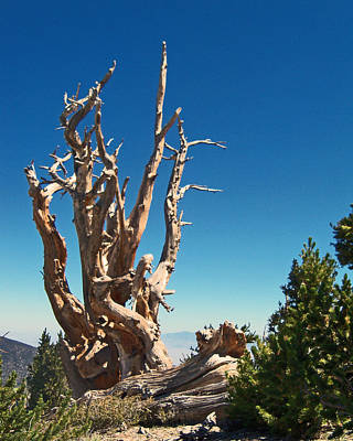 Poster featuring the photograph Lone Bristlecone by Alan Socolik