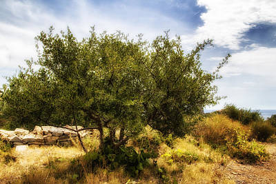 Lone Olive Tree Poster
