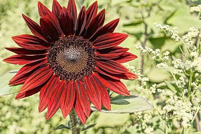 Lone Red Sunflower Poster by Kerri Mortenson