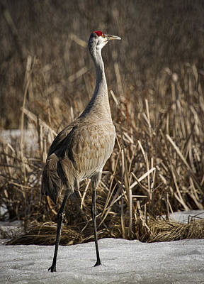 Lone Sandhill Crane 1 Poster by Thomas Young