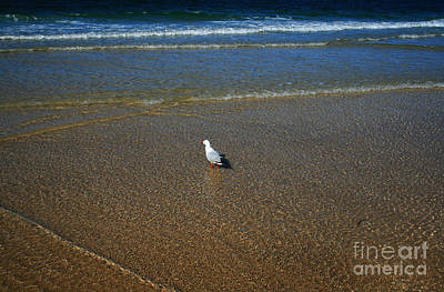 Lone Seagull Poster by Sarah Sutherland