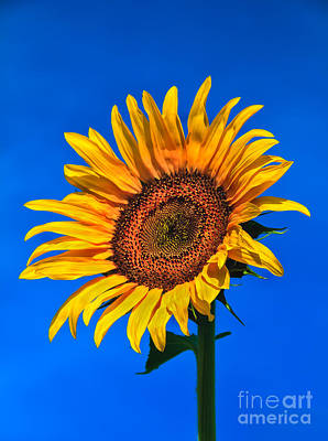 Lonely Sunflower Poster by Robert Bales