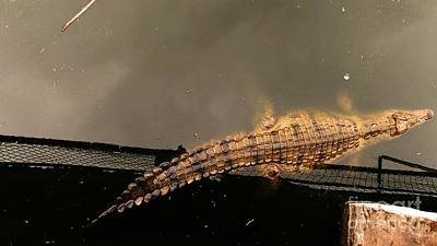 Lonesome Crocodile Poster