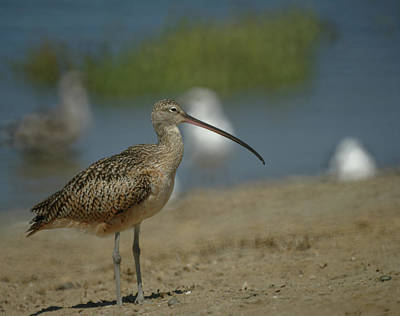 Long Billed Curlew  Poster by Ernie Echols