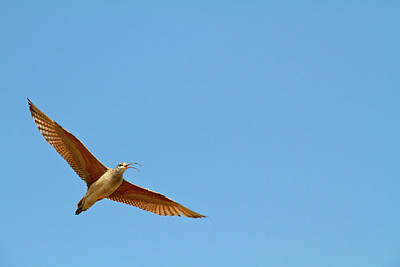 Long-billed Curlew In Flight Poster