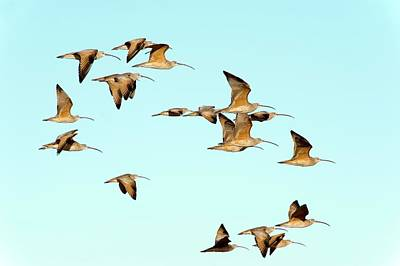 Long-billed Curlews In Flight Poster by Christopher Swann