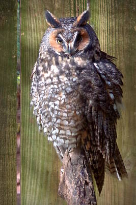 Poster featuring the photograph Long Eared Owl by Joseph Skompski
