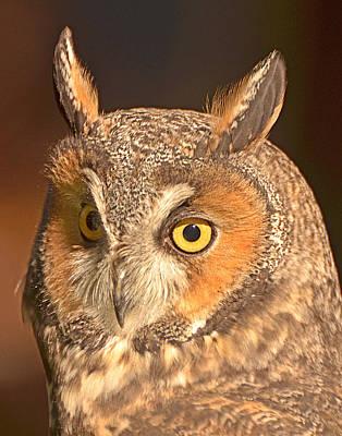 Long-eared Owl Poster