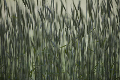 Long Grass In Farm Field Poster by Ron Bouwhuis