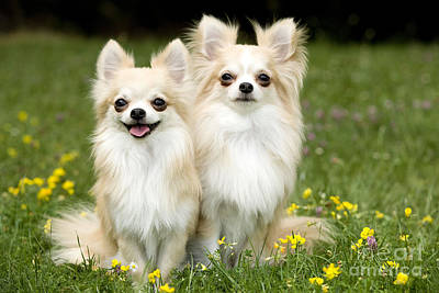 Long-haired Chihuahuas Poster