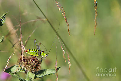 Poster featuring the photograph Long-horned Katydid by Jivko Nakev