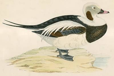 Long Tailed Duck Poster by Beverley R. Morris
