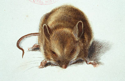 Long-tailed Field Mouse Poster by Natural History Museum, London