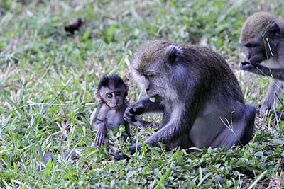 Poster featuring the photograph Long Tailed Macaque Family by Shoal Hollingsworth