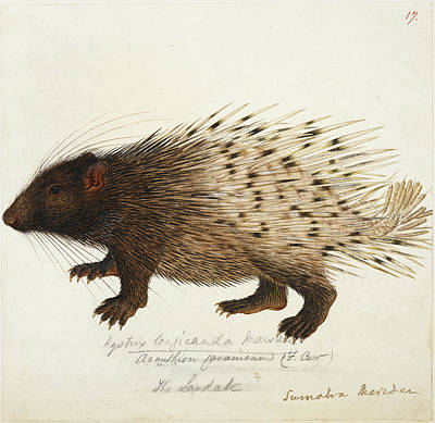 Long Tailed Porcupine From Sumatra Poster by British Library
